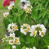 雨露にぬれるイジュの花=11日、奄美市の名瀬運動公園