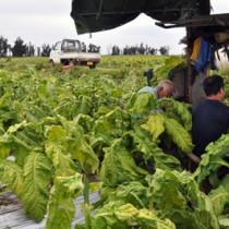 葉タバコの摘み取り作業に汗を流す農家=知名町正名