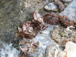 禁漁期間中に違法に採捕されたシラヒゲウニの殻=13日、奄美市名瀬の海岸(名瀬漁協提供)