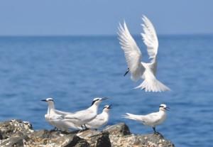 繁殖のため飛来したエリグロアジサシ=21日、加計呂麻島須子茂離周辺の岩礁