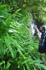 アマミクサアジサイの群生地に繁殖しているハナシュクシャ