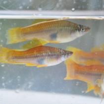 大美川水系で生息が確認された外来熱帯魚のソードテー