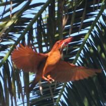 ヤシの幹に営巣し、葉をくぐってひなに餌を運ぶアカショウビン=奄美大島