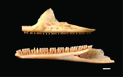 与論島で採集されたヨロントカゲモドキ(仮称)の骨