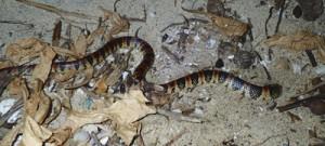 ウミガメの卵や幼体を捕食するため頭を砂の中に突っ込むアカマタ=25日午後10時すぎ、奄美市の大浜海浜公園(興克樹さん撮影)