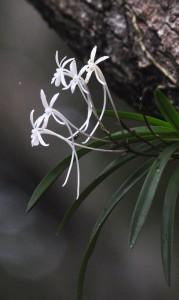 奄美自然観察の森で咲いているフウラン