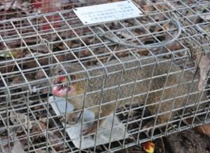 防除事業の推進で生息密度が低下して捕獲数が年々減少しているマングース