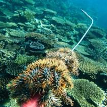 サンゴ礁を食い荒らすオニヒトデ(手前)の駆除作業=2013年12月3日、奄美市名瀬の知名瀬沖(興克樹さん撮影)