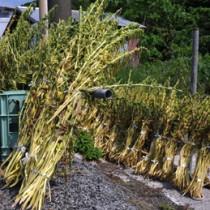 例年より遅れて収穫が始まり、天日に干される白ゴマ=12日、喜界町