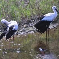 水辺で仲良く羽を休めるコウノトリの兄弟=5日、奄美大島北部