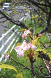 季節外れの桜開花140904向