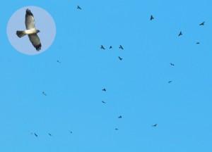 南下するため大空を舞うアカハラダカの群れ=常田守さん撮影