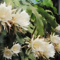 甘い香りを漂わせる月下美人の大輪の花=22日午後9時すぎ、奄美市名瀬