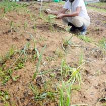 2週連続の台風で収穫前のネギやダイコンなどの野菜が被害を受けた畑=14日、奄美市名瀬西仲勝