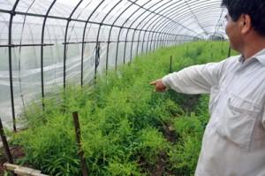 ソリダゴの被害を確認する農家=12日午後3時半ごろ、和泊