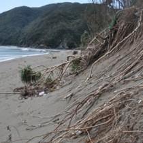 浸食で砂浜に崩れ落ちたアダン=16日、瀬戸内町の嘉徳海岸