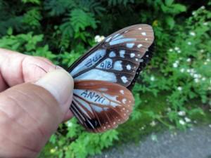 石川県から1000㌔以上を旅して喜界島に飛来したアサギマダラ(福島誠さん提供)