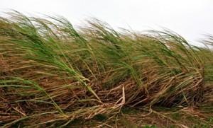 度重なる台風通過で被害拡大が懸念されるサトウキビ=12日午前10時半ごろ、喜界町小野津