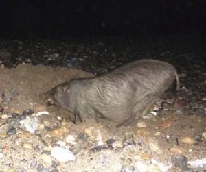 ウミガメ卵を捕食するリュウキュウイノシシ(奄美海洋生物研究会提供)