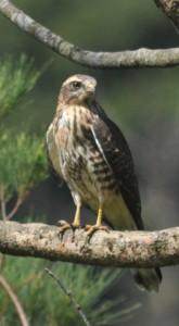 奄美に飛来した旅鳥のサシバ=2日、奄美市内