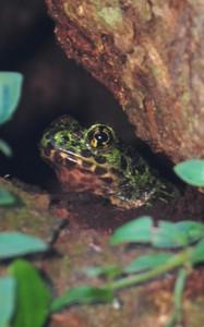 アマミイシカワガエル、奄美自然観察の森の木のうろに