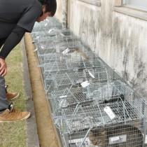 猫の不妊手術事業で集落などで捕獲された野良猫=17日、伊仙町