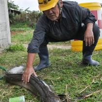 伊仙町で見つかった全長1・5㍍の大ウナギ