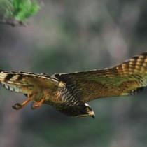 餌を見つけ、木の枝から低空飛行するサシバ