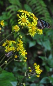ツワブキの花とチョウ