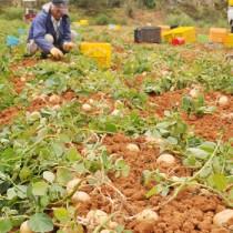 高値回復に期待が高まる「春一番」の収穫作業=27日、徳之島町