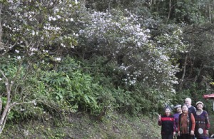 通称「テラヤマ」に群生するサクラツツジ=26日、宇検村宇検