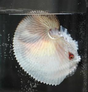 奄美海洋展示館の個水槽で飼育展示が始まったアオイガイ=27日、奄美市の大浜海浜公園