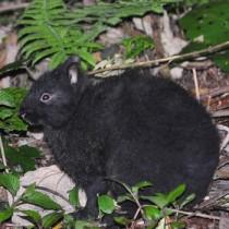環境省が保護増殖事業10カ年実施計画を定めたアマミノクロウサギ