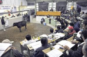高値水準での取引が続いた子牛初競り=12日、与論町家畜市場