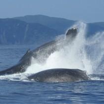 奄美大島近海に来遊したザトウクジラ=7日、奄美市名瀬小湊沖