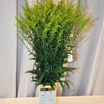 農水大臣賞に選ばれた清原利仁さんのソリダゴ=5日、鹿児島市山下町
