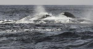 奄美来遊のピークを迎えたザトウクジラの群れ=23日、奄美市笠利町沖