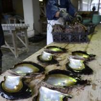 奄美の豊かな海で育ったマベパールの浜揚げ作業=20日、瀬戸内町三浦