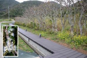 与路島のサガリバナ並木に整備された遊歩道=瀬戸内町、サガリバナの花=与路島で2006年7月撮影(枠内)