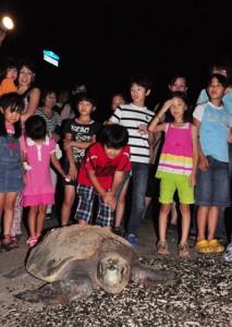 各客層に共通して人気が集まったウミガメの観察会=2012年、龍郷町