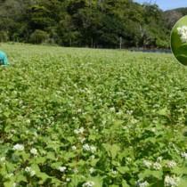 見頃を迎えたソバ農園(円内はソバの花)。川島さん(写真)は「新しい観光スポットになれば」と話す=24日、瀬戸内町勢里