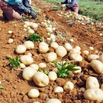 バレイショの掘り取り作業に汗を流す農家=22日、知名町