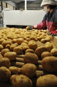 収穫期の終盤を迎えたバレイショの選果作業=18日、伊仙町のJAあまみ徳之島事業本部選果場