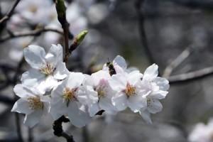 好天に恵まれ、開花が進むソメイヨシノ=31日、宇検村湯湾岳入り口