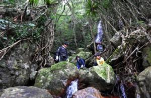 ガジュマルの根の間を縫うように流れる川。背後は通称「ケンムンの滝」=8日、奄美市住用町川内の喜界川