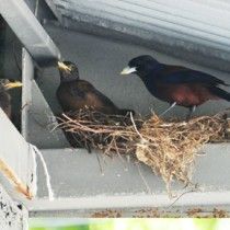 工場の軒下で子育てしているルリカケスの親鳥(右)とひな=17日、龍郷町中勝
