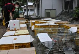 猫の不妊手術事業で捕獲された野良猫=17日、徳之島町