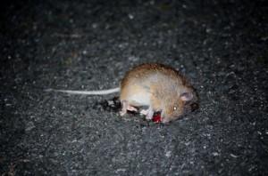 徳之島の林道で見つかったトクノシマトゲネズミの死骸(池村茂さん撮影)