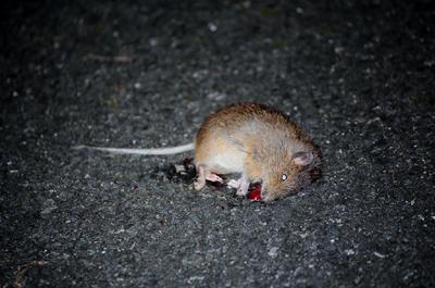林道にトクノシマトゲネズミの死...