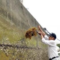 ホンダワラが付着したブロックを引き上げるすみよう漁業集落の関係者=6日、奄美市住用町戸玉